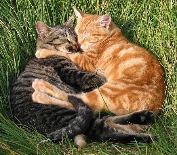 Les comportements amoureux chez les chats